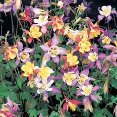 Aquilegia 'Mrs Scott Elliot's Hybrids' - Cottage Garden Plants - Van Meuwen