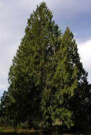 western red cedar - Google Search