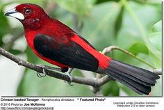 Crimson-Backed Tanager: What a unbelievable use of black + red + whitte. So beautiful.
