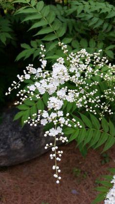 좀쉬땅나무 Sorbaria kirilowii(Regel & Tiling) Maxim