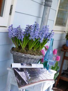 59 besten hyazinthen hyacinthus bilder auf pinterest in 2018 christmas flowers deck und. Black Bedroom Furniture Sets. Home Design Ideas