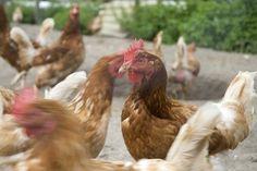 Chicken Skin Diseases