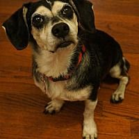 Mansfield Tx Beagle Meet Jojo A Pet For Adoption In 2020 I