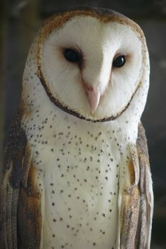 Spanish Word of the Day - Page 32 Beautiful Owl, Animals Beautiful, Cute Animals, Owl Photos, Owl Pictures, Wild Creatures, Owl Bird, Baby Owls, Pretty Birds