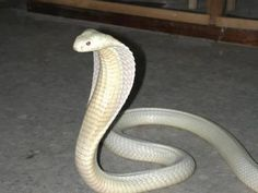 Albinism is an genetic disorder characterized by a lack of melanin in the body, the body's color producing pigment. It is extremely rare. Here's a list of 125 rare albino animals. Beautiful Creatures, Animals Beautiful, Unique Animals, Melanistic Animals, Rare Albino Animals, Melanism, Cobra Snake, Beautiful Snakes, King Cobra