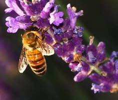 queen bee on flower - Google Search