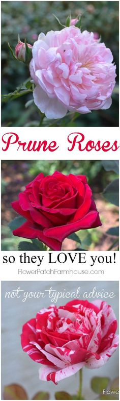 Prune Your Roses so they Love you! Not your typical pruning post, different type roses require different pruning practices as does different locations! http://FlowerPatchFarmhouse.com