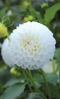 White dahlias for bridal party bouquets. Pretty Flowers, Dahlia, Planting Flowers, White Flowers, Flower Pots, Beautiful Flowers, Moon Garden, Love Flowers, Dahlia Flower