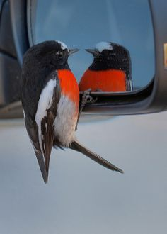 Mirror mirror on d car whose most scarlet of dem all. Most Beautiful Birds, Animals Beautiful, European Robin, Robin Bird, Two Birds, Camera Shots, Horse Pictures, Wild And Free, Bird Feathers