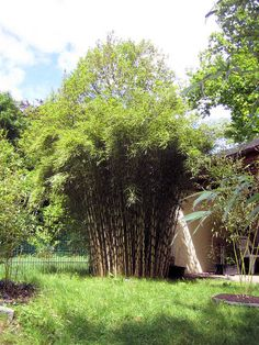 1000 images about fargesia bamboos on pinterest bamboo. Black Bedroom Furniture Sets. Home Design Ideas