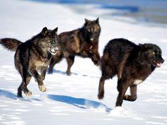lobos en las montañas