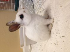 Lilly- my baby mini Rex a.k.a. the cutest rabbit ever!