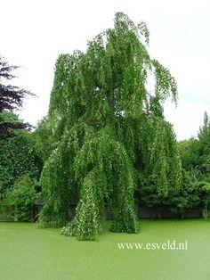 Weeping katsura (Cercidiphyllum japoncium 'Pendula')
