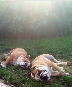 #English #Bulldogs