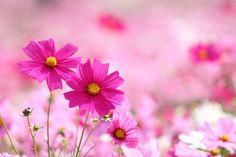 pink cosmos   por * Yumi *