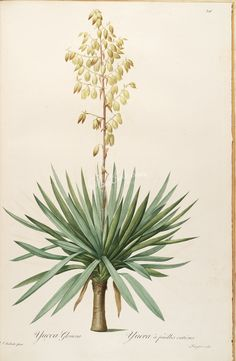 lilies_flowers-00413 yucca gloriosa  botanical floral botany natural naturalist nature flowers flower beautiful nice flora plants blooming ArtsCult.com Artscult ArtsCult vintage printable public domain 300 dpi commercial use 1800s 1700s 1900s Victorian Edwardian art clipart royalty free digital download picture collection pack paintings scan high qulity illustration old books pages supplies collage wall decoration ornaments Graphic eng