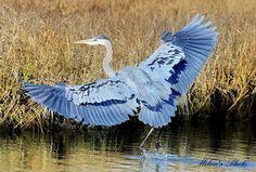 Great Blue Heron image by Milan Ljumovic