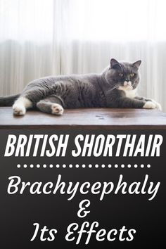Brachycephaly And Its Effects On Health And Lifespan Of British Shorthair Cat British Shorthair Cats British Shorthair Cats