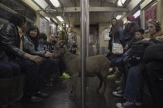 Cyrus Fakroddin (L) and his pet goat Cocoa ride the downtown C train in New York, April 7, 2012. Cocoa is a 3-year-old Alpine Pygmy mixed goat who lives with Cyrus in Summit, New Jersey. They frequently take trips into Manhattan to enjoy the city.