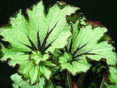 Begonia 'Green Gold'