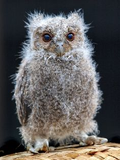 A Javan Scops owl fledgling (Otus angelinae) . Javan scops owls are an owl native to Indonesia and its species is considered vulnerable due to habitat loss. Baby Owls, Baby Animals, Cute Animals, Beautiful Owl, Animals Beautiful, Owl Pictures, Owl Bird, Tier Fotos, Mundo Animal