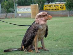 Wisely tethered / vicious looking dogeagle