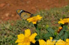 Colorful butterfly on top of beautiful yellow flower @ Lalbagh botanical garden, Bangalore, India