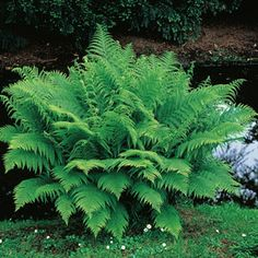 """MOIST Lady Fern -  This elegant fern is the perfect addition to those moist and shady areas of your landscape. Mature plants spread 12-24"""" wide. Very popular near foundations and walls. Terrific background filler in floral arrangements. Athyrium filix-femina.  Product Information: Size: #1 plants Zones: 2 to 9 Height: 30"""""""