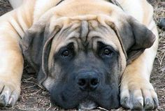 """I want a """"Bexley"""". South African Boerboels and Yorkies are by far my favorite dogs no matter the size difference."""