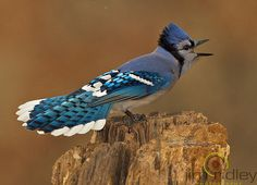 blue jay  photo by jridley1