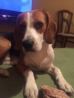 Beagle - Rich