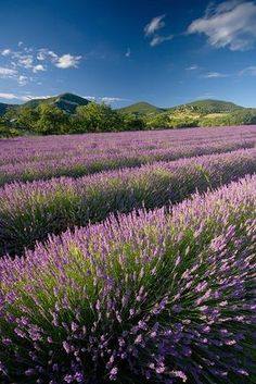 Summer, Lavender, France | Vincent Favre