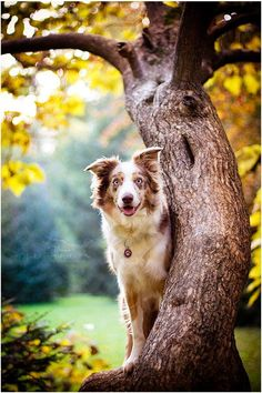 This Border Collie Certainly Seems to be Happy About Something.