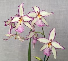 Aliceara Donald Halliday 'Smile 'Eri' (Aliceara Tahoma Glacier x Oncidium Richard Waugh) - Flickr - Photo Sharing!