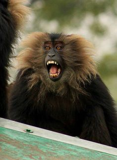 lion tailed macaque by Ali - Arsh, via Flickr