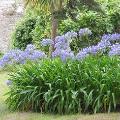 Agapanthe bleue - Plantes et Jardins