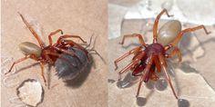 Dysdera crocata alimentando-se de um tatuzinho de jardim. Essa espécie de aranha se alimenta exclusivamente de Crustáceos terrestres