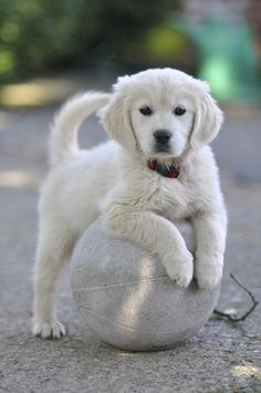 Bianca the Golden Retriever Puppy, by mavironchi on Baby Animals, Funny Animals, Cute Animals, Cute Dogs And Puppies, I Love Dogs, Doggies, Puppies Puppies, Fluffy Puppies, Beautiful Dogs