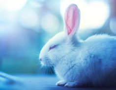 Animal Rabbit  Wallpaper