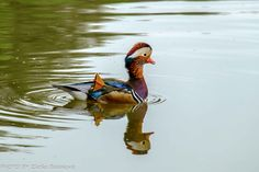 natur Swan, Bird, Animals, Mandarin Oranges, Nature, Animales, Animaux, Swans, Birds