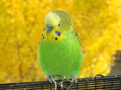 Green and Yellow male Budgie, Parakeet