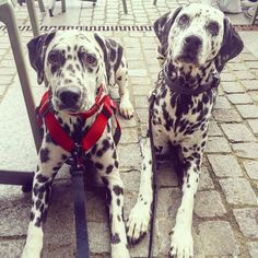 #therapydog #roadtrip #dalmatian