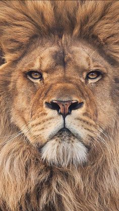 No wonder Jesus is referred to as 'The Lion of Judah'!~~Lion by Steve MacKay~~ Lion And Lioness, Lion Of Judah, Lion Pictures, Animal Pictures, Beautiful Cats, Animals Beautiful, Animals And Pets, Cute Animals, Wild Animals