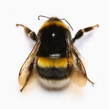 Картинки по запросу пчелы и шмели