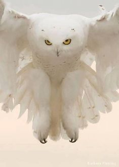 Beautiful Owl, Animals Beautiful, Beautiful Pictures, Hirsch Illustration, Animals And Pets, Cute Animals, Wild Animals, Tier Fotos, Snowy Owl