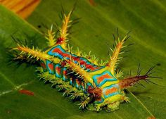 "This is the caterpillar form of the moth Calcarifera ordinata, also known as the wattle cup caterpillar.  They're found throughout northern Australia, south to Geraldton, Alice Springs and Brisbane.  The adults are creamy brown with lines of brown dots on the forewings, and have a wingspan of about 30mm.  The caterpillar has an incredibly painful sting, which is described as ""worse than three wasp stings""."