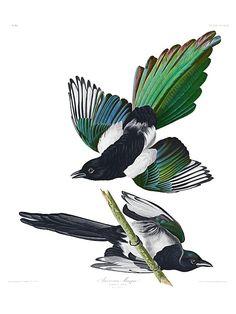 John James Audubon, Birds of America - AMERICAN MAGPIE. Plate 357. Engraved by Robert Havell, London, 1837.