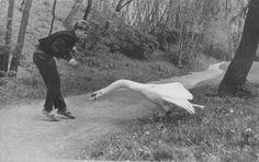 Date unknown Swan attack. (via adski-kafeteri) Vintage Photographs, Vintage Photos, Black White Photos, Black And White, Bird People, Amazing Nature, Beautiful World, Beautiful Creatures, Make Me Smile