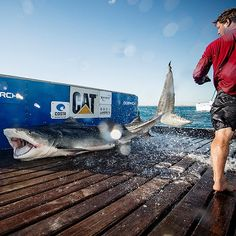 Meet the newest tiger shark in the OCEARCH family! Perth, named for the biggest city in Western Australia, is the largest tiger shark of the expedition weighing in at 1,198 lb and 13 ft 3 in.