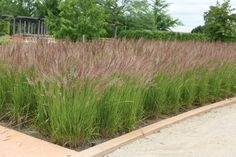 This grass is so popular! - 'Karl Foerster' Feather Reed Grass... great in mass plantings or to make a beautiful border.